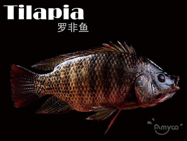 Tilapia High Quality